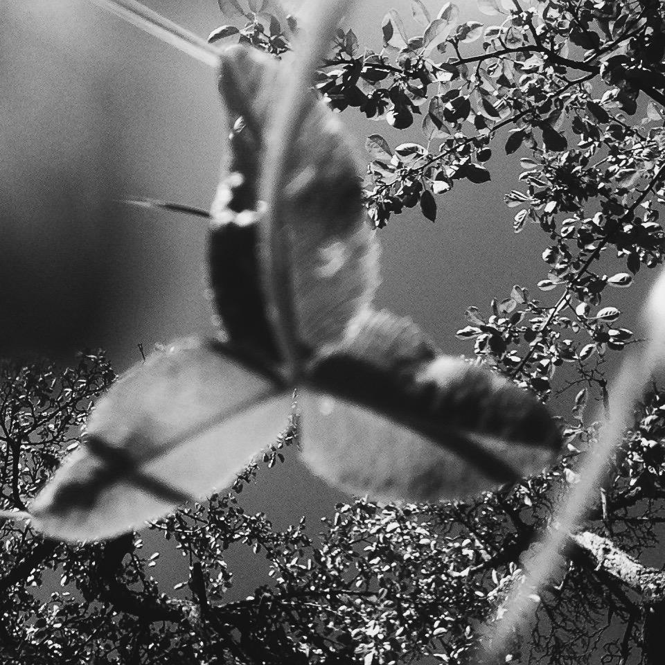 giant clover   clio em