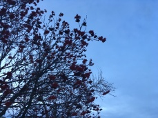 Calgary: mountain ash and sky